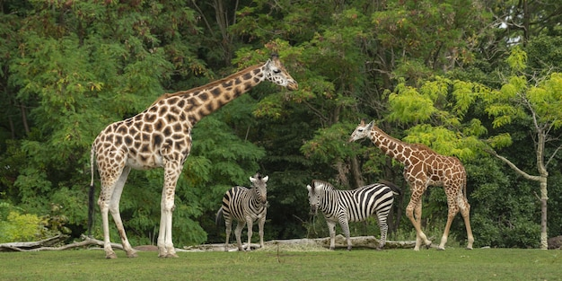 Wide shot of a baby giraffe near its mother and two zebras with green trees