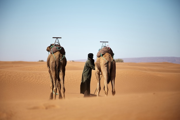 Wide shot of a male and two camels walking in the moroccan desert during daytime