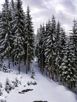 冬の青い空と松の木がいっぱいの森のワイドショット