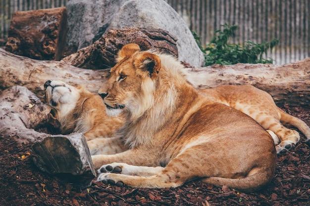 茶色の岩だらけの地面に横たわっているライオンと雌ライオンのワイドショット