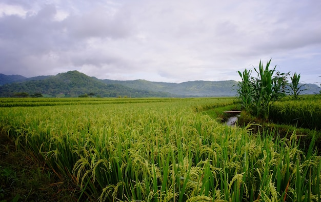 農場の水田や稲のワイドショット。
