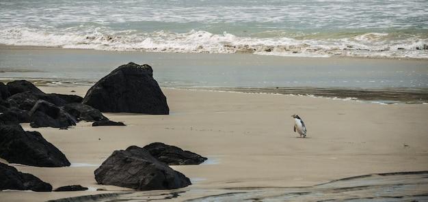 Wide shot of a penguin near black rocks on a sandy coastline by the sea