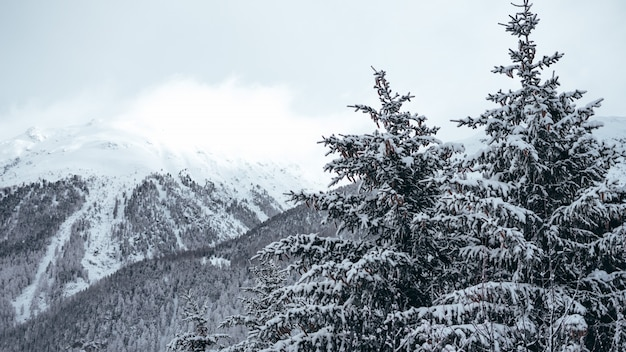 Wide shot of pine trees and mountains covered in snow