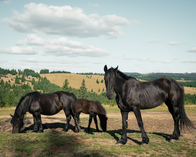 Wide shot of three black horses in the field surrounded by small fir trees under the cloudy sky