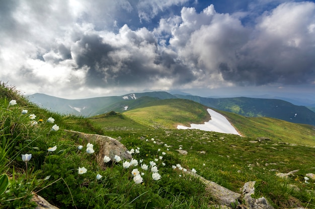 Wide summer mountain panorama. beautiful white flowers blooming in green grass among big rocks, patches of snow in valley and mountain range under low cloudy sky. tourism and beauty of nature concept.