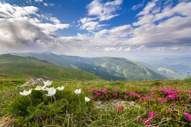 Wide summer mountain panorama. beautiful white and red  flowers blooming in green grass among big rocks, patches of snow in valley and mountain range under low cloudy sky. beauty of nature concept.