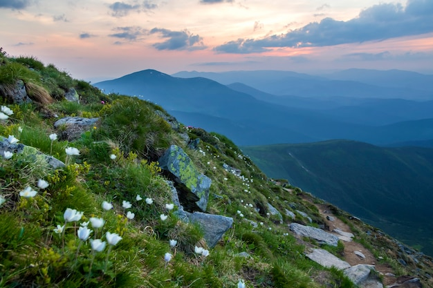 Wide summer mountain panorama at dawn. beautiful white flowers blooming in green grass among big rocks and mountain range under pink sky before sunrise. tourism, ecology and beauty of nature concept.