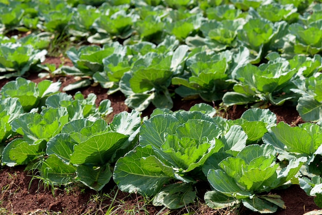 Wide view of cabbage plantation