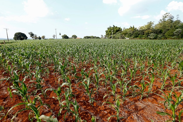 Wide view of growing maize plantation