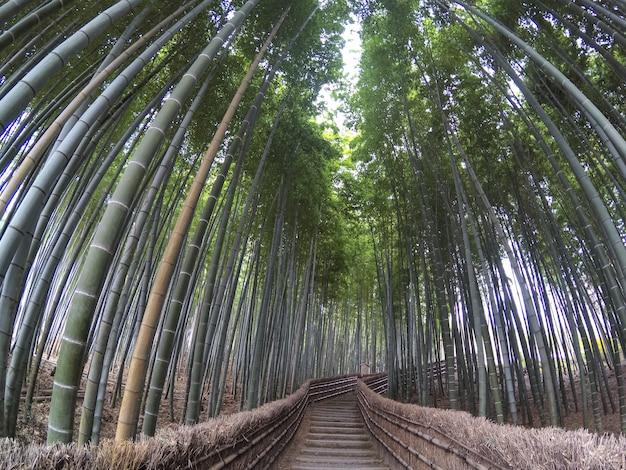 Широкий вид на бамбуковую рощу. бамбуковый лес в киото, япония