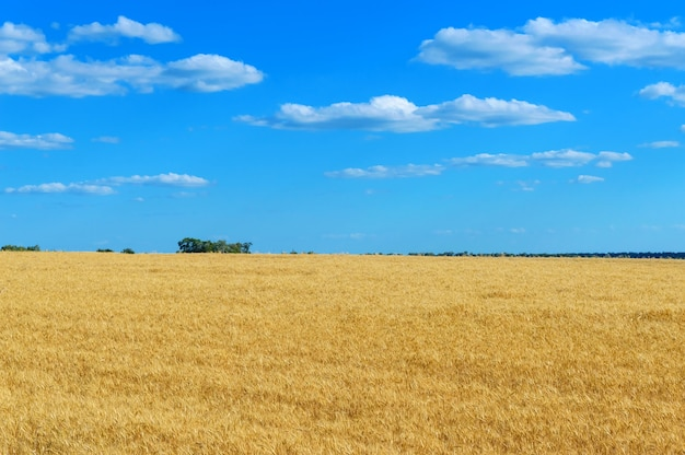 A wide yellow field of spikelets of wheat and a blue sky above it