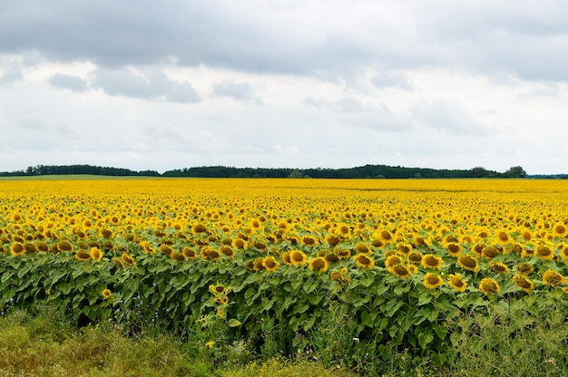 Wide yellow field of sunflowers.