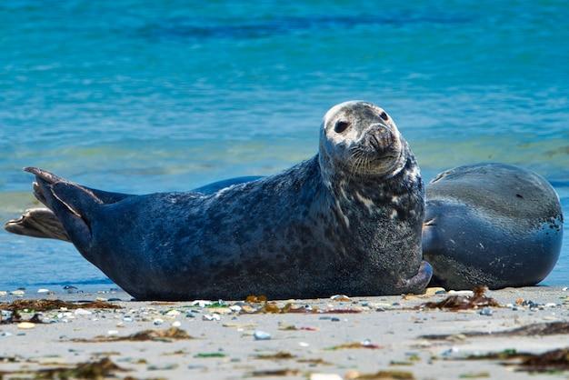 Wijd grey seal on the north beach of heligoland - island dune i- northsea - germany