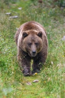 Дикий взрослый бурый медведь в летнем лесу