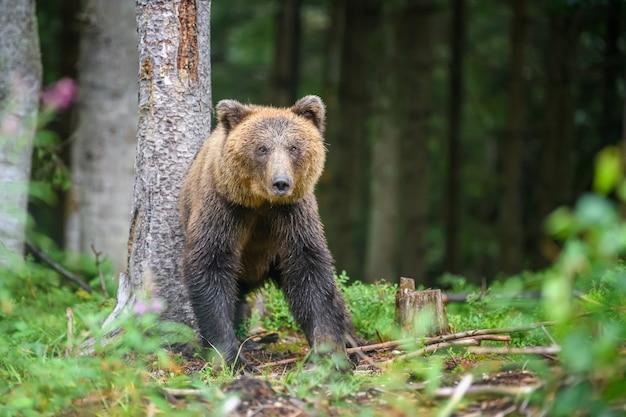 Дикий взрослый бурый медведь (ursus arctos) в летнем лесу. опасное животное в природе. сцена дикой природы