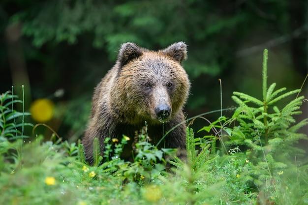 Дикий взрослый бурый медведь (ursus arctos) в летнем лесу