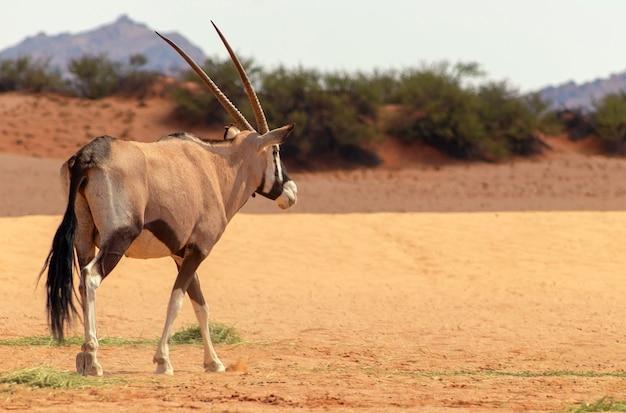 Дикое африканское животное. одинокий орикс гуляет по пустыне намиб