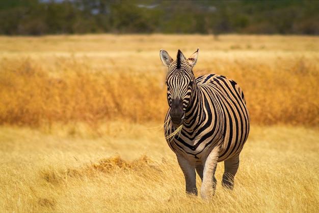 野生のアフリカの動物。草原に立つアフリカのヤマシマウマ。エトーシャ国立公園。ナミビア