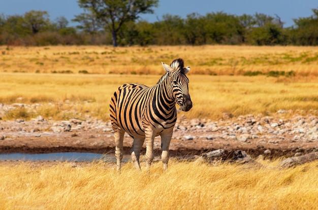 야생 아프리카 동물. 초원에 서 있는 아프리카 산 얼룩말. 에토샤 국립공원. 나미비아