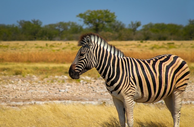 Дикие африканские животные. африканская горная зебра стоя в лугах. национальный парк этоша. намибия