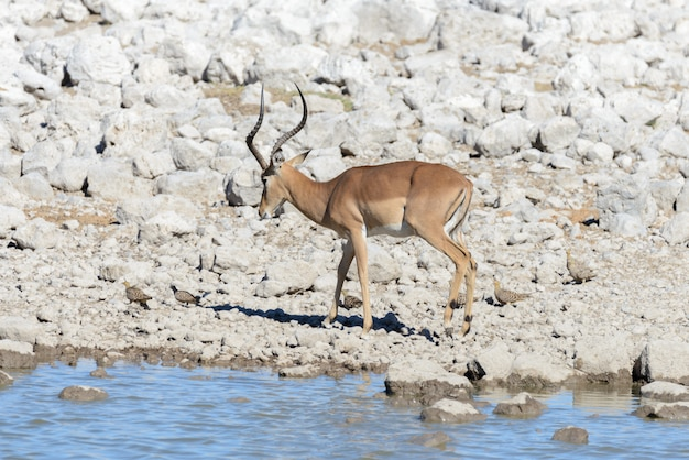 Дикие африканские животные -гну, куду, орикс, спрингбок, зебры, вода в водопоя