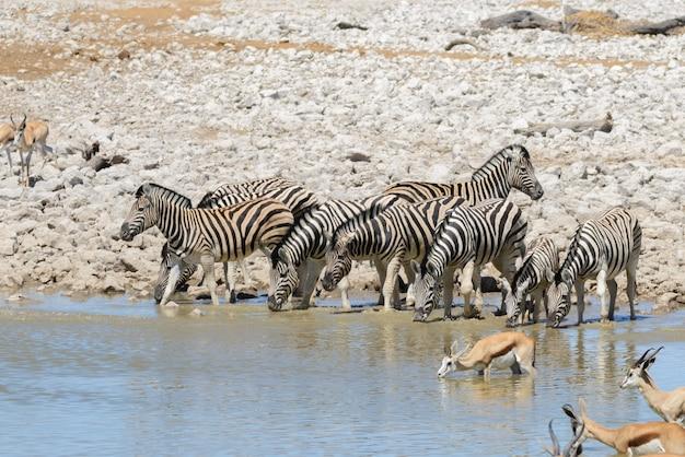 야생 아프리카 동물 -gnu, kudu, orix, springbok, 얼룩말 식수