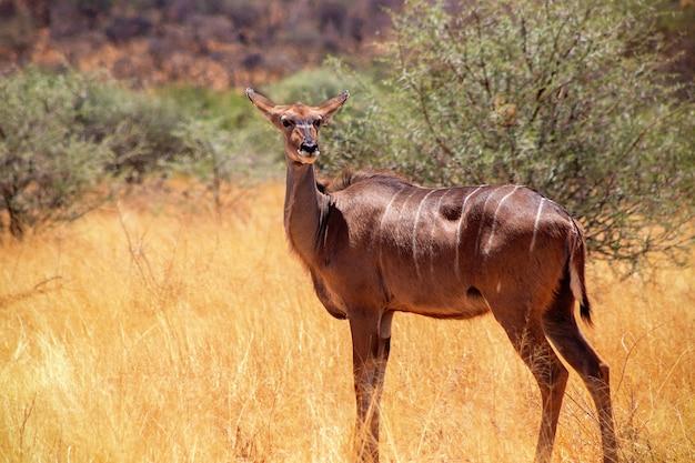 Дикие африканские животные. большая куду (лесная антилопа) стоит в африканских кустах.