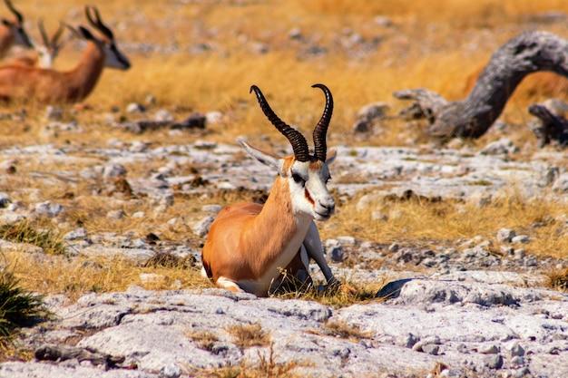 Дикие африканские животные. спрингбок (антилопа среднего размера) в высокой желтой траве. национальный парк этоша. намибия