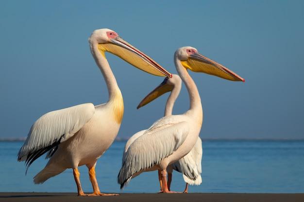 Дикие африканские птицы. группа из нескольких больших розовых пеликанов стоит в лагуне в солнечный день