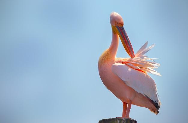 Крупный план диких африканских птиц. один большой розовый намибийский пеликан на фоне яркого голубого неба