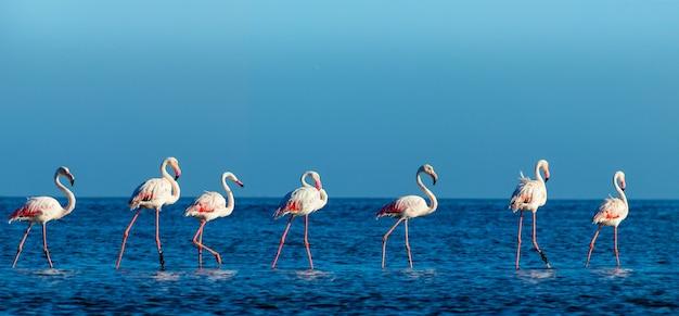 Дикие африканские птицы. группа птиц розовых африканских фламинго гуляет вокруг голубой лагуны в солнечный день. намибия