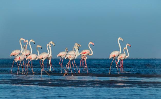 Дикие африканские птицы. группа птиц розовых африканских фламинго гуляет вокруг голубой лагуны в солнечный день