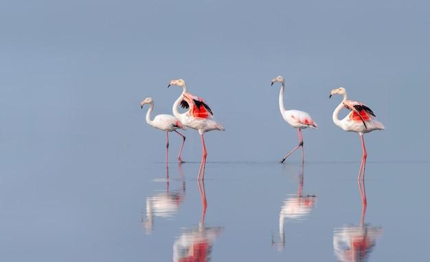 Дикие африканские птицы группа розовых африканских фламинго гуляет по голубой лагуне в солнечный день