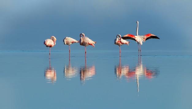 Дикие африканские птицы группа розовых африканских фламинго гуляет по лагуне в поисках еды