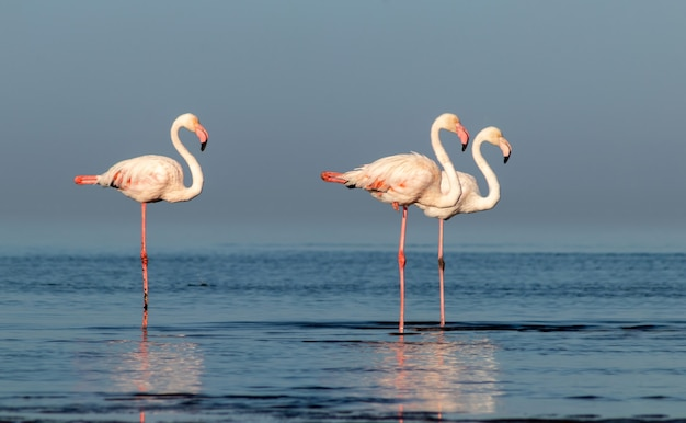 Wild african birds group of pink african flamingos  walking around the blue lagoon on a sunny day