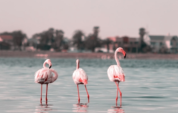 Wild african birds group  of pink african flamingos  walking around the lagoon and looking for food