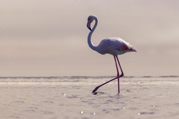 Дикие африканские птицы. одна птица розового африканского фламинго гуляет по лагуне в поисках еды. намибия
