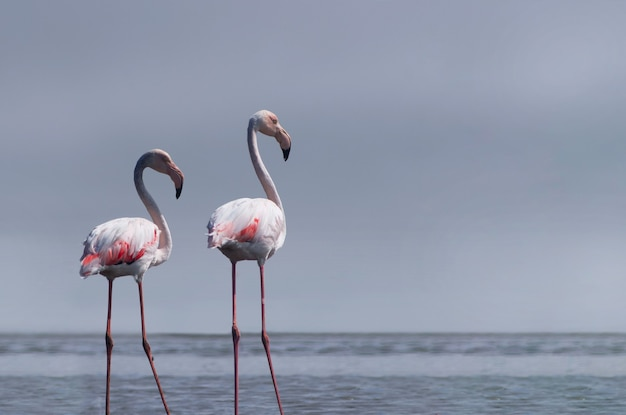 Wild african birds. two birds of pink african flamingos  walking around the blue lagoon on a sunny day. namibia