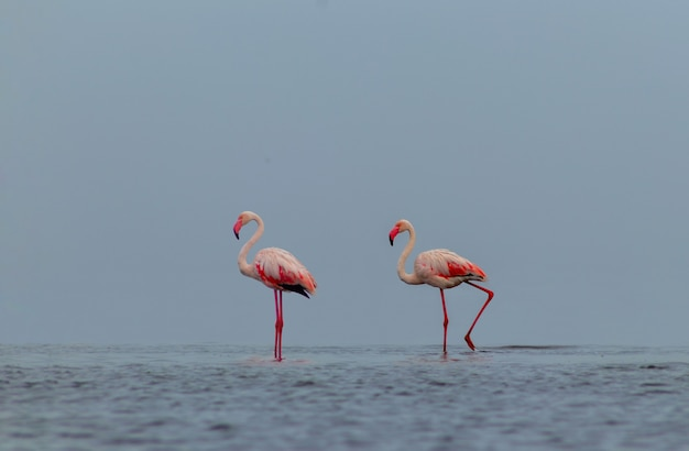 Wild african birds. two birds of pink african flamingos  walking around the blue lagoon on a sunny day