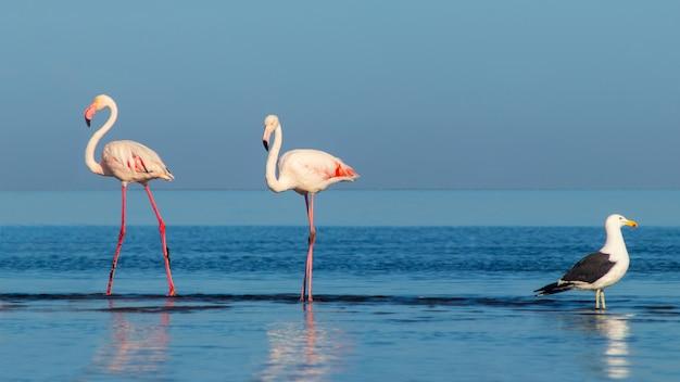 Дикие африканские птицы. два больших фламинго и одна чайка гуляют по голубой лагуне солнечным утром