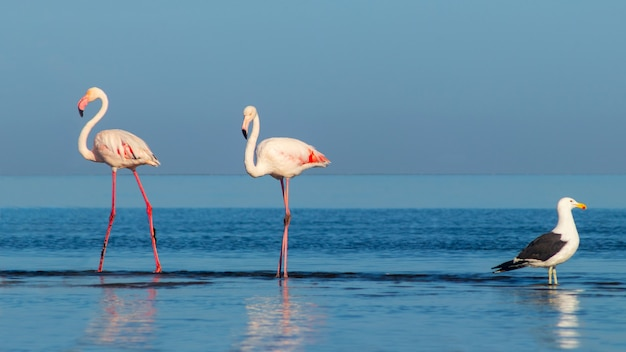 Wild african birds.two large flamingos and one seagull walk on a blue lagoon on a sunny morning
