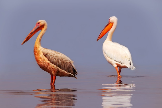 Дикие африканские птицы. два больших розовых пеликана и их отражение в прозрачной воде лагуны