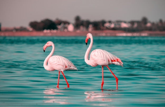 Wild african birds two pink african flamingo  walking around the lagoon and looking for food