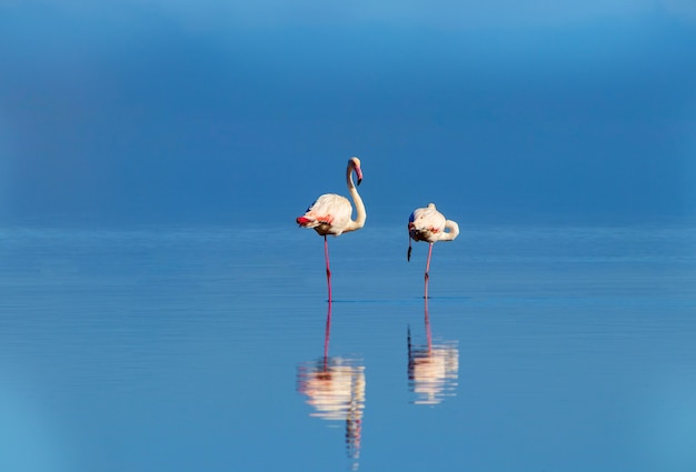 Wild african birds two of pink african flamingos  walking around the blue lagoon on a sunny day
