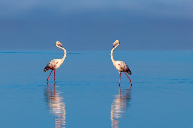 Wild african birds two pink african flamingos  walking around the blue lagoon on a sunny day