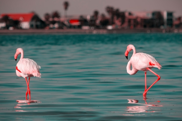 Wild african birds two pink african flamingos  walking around the lagoon and looking for food