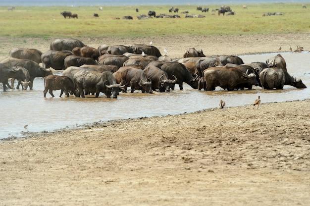 야생 아프리카 버팔로 황소. 아프리카, 케냐