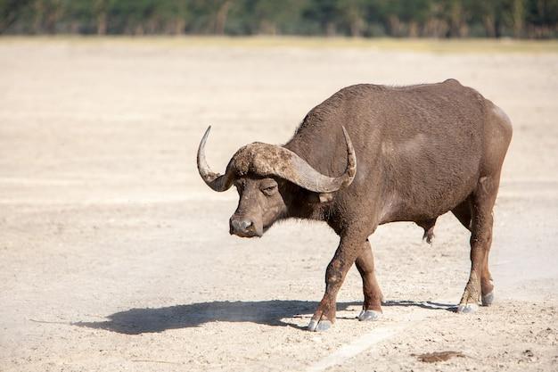 Дикий африканский буйвол. кения, африка