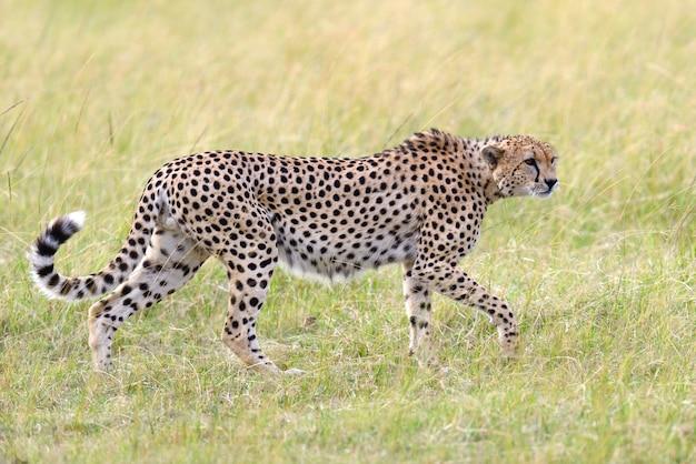 Дикий африканский гепард, красивое млекопитающее. африка, кения