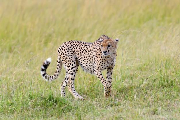 野生のアフリカ チーター、美しい哺乳類動物。アフリカ、ケニア